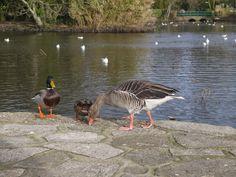 Ducks at Poole Park