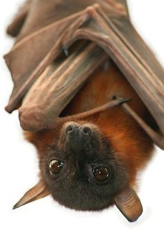 """""""Little Red Flying Fox Hanging Out"""" by SerenaB"""