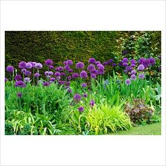 GAP Photos - Garden & Plant Picture Library - Allium hollandicum in a border in front of Yew hedge - GAP Photos - Specialising in horticultural photography