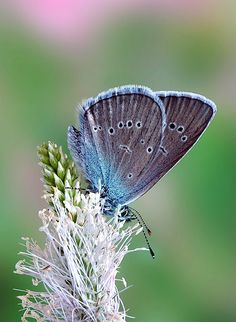 This flower is called the Mazarine Blue. It is also extinct in the British Isles and is very rare to find. This is the butterfly that Clegg mentions he would catch only once in his lifetime because it is prize worthy. Only once because if it were to happen, it would be a miracle.