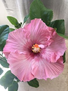 Nectar Pink hibiscus 2nd bloom 8/26/16