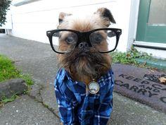 I love Brussel Griffons! Wish mine would let me dress him up...Hipster dog.