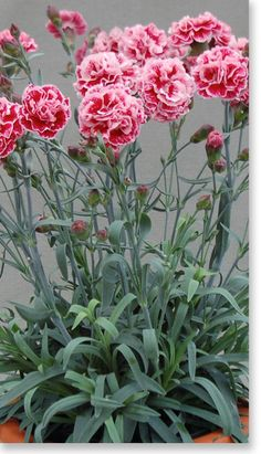 Dianthus - beautifully fragrant flowering from late winter through spring. Shades of pink