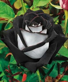 The Black Rose is found in a region Turkey called 'Halfatty'. This type has two colours, which makes it extremely rare