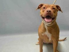 Brooklyn Center CANDLE – A1073743 FEMALE, TAN / WHITE, AM PIT BULL TER MIX, 8 mos STRAY – STRAY WAIT, NO HOLD Reason STRAY Intake condition EXAM REQ Intake Date 05/14/2016, From NY 11421, DueOut Date 05/17/2016 Urgent Pets on Death Row, Inc