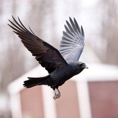 Raven in flight, wings up, feet down. Raven Wings, Raven Bird, Raven Flying, Crop Image, Skeleton Art, Crows Ravens, Character Poses, Owl Art, Natural Life
