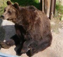 Otso Brown Bear, Animals, Animales, Animaux, Animal, Animais