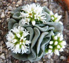 Crassula 'Celia' cactus flower