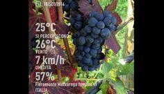 An image of Oseleta grapes in the Allegrini vineyard of Fieramonte in Valpolicella Italy. 9/10/14