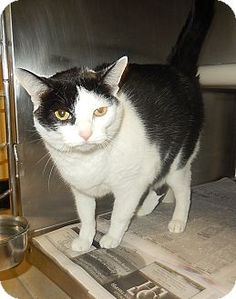 10/04/16 SL~~~Domestic Shorthair Cat for adoption in Newport, North Carolina - Trudy aka Trouble. Arrived at the shelter on 07/12/16