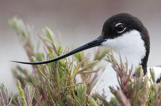 Rare Birds | In pictures: Britain's thriving rare birds | Environment | theguardian ...