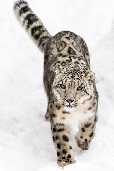 Snow Leopard on the Prowl IX - Snow Leopard Walking in Snow Snow Leopard Tattoo, Leopard Tattoos, Big Cats, Cool Cats, Cats And Kittens, Beautiful Cats, Animals Beautiful, Cute Animals, Wild Animals