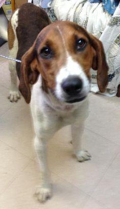 Meet Elvis, Active Goof Ball, an adoptable Coonhound Dog | Orchard Park, NY | Elvis in Jan 2015: https://www.youtube.com/watch?v=vKbeHRBJvhw                 wonderful...