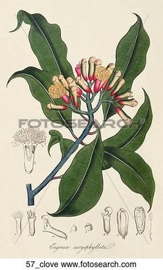 antigüedad, botánico, ilustración, de, clavo, árbol, (hand-colored, engraving).,1836 Ver Ilustración en Grande