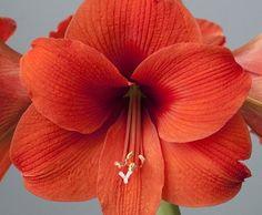 Huge Blooms Red Pearl Dutch Amaryllis 32//34 cm Bulb