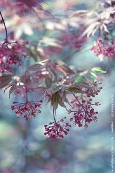 Japanese Maple watercolors-intherain: http://everyday-wonders.com/blog/archive/141