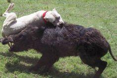 #Dogo Argentino hoggin - Mora de la Cocha