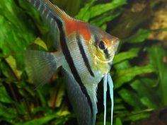 Bandeira Tropical Fish Aquarium, Freshwater Aquarium Fish, Aquarium Fish Tank, Fish Aquariums, Underwater Animals, Underwater Life, South American Cichlids, Fish List, Fish Wallpaper