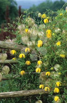 Clematis tangutica 'Bill Mackenzie' is a wonderful clematis with lovely yellow nodding flowers and then wispy seed heads which means it looks good almost all year.