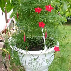 Easy-to-grow from Cypress vine seeds, this is one annual vine that is a must-have! Ipomoea Quamoclit Cardinalis seeds will produce this easy-to-care-for vine with red trumpet shaped flowers. Soak Cypress vine flower seeds overnight before planting. Balcony Plants, Sun Plants, Home Garden Plants, Portulaca Flowers, Planting Flowers, Garden Crafts, Garden Projects, Flower Seeds, Flower Pots
