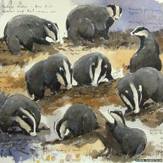 Badgers at Tentsmuir National Nature Reserve in Fife, Scotland, by Derek Robertson