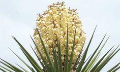 Torrey Yucca Cactus....