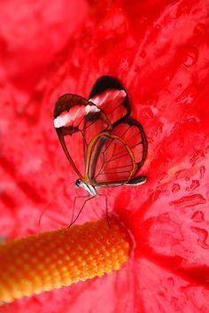 Glasswing on Anthurium by Jo Nijenhuis #butterfly #kelebek #fly #papillon #Schmetterling #mariposa #farfalla