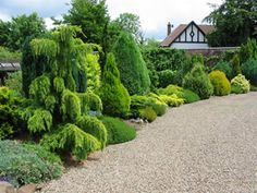 Conifers for Privacy | Dwarf Conifers, Garden Conifers, Conifers Evergreens, Conifer Gardens ...