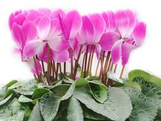 Cheap seed planter, Buy Quality bonsai soil directly from China bonsai seedlings Suppliers: Cyclamen Seeds ,The bonfire flowers, Flower Seeds Bonsai Seeds - 20 Seed particles Bonsai Soil, Bonsai Seeds, Amazing Flowers, Purple Flowers, Beautiful Flowers, Seed Planter, Flower Seeds, Garden Supplies, Fruit Trees
