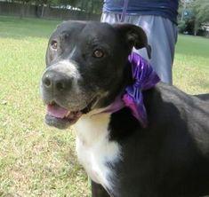Tee-bo Labrador Retriever For Adoption In Lafayette Louisiana