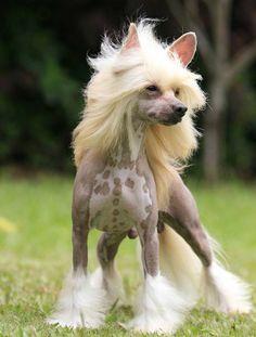 Chinese Crested Dog – Características da raça, fotos e vídeos ...