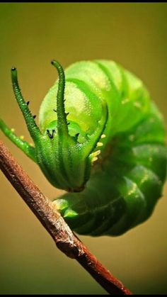 Dragon head caterpillar