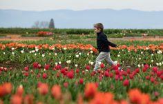 Tulip Runner Order Prints, Tulips, Vineyard, Outdoor, Outdoors, Vine Yard, Vineyard Vines, Outdoor Games, The Great Outdoors