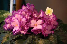 Květy afrických fialek sice nevoní, ale zato nám mohou zkrášlit domov i během zimního období, kdy ostatní kvetoucí rostliny odpočívají. Jak se o africkou fialku správně starat a kvetení podpořit? Plants, Cactus, Plant, Planets