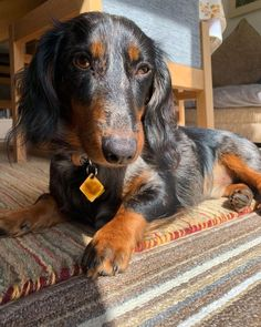 Visit our web site for more information on dachshunds. It is an outstanding place to find out more. Short Haired Dachshund, Dapple Dachshund, Dachshund Love, Daschund, Hot Dogs, Thai Chi, Feline Leukemia, Pet Steps, Miniature Dachshunds