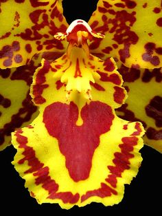 Orchid's heart