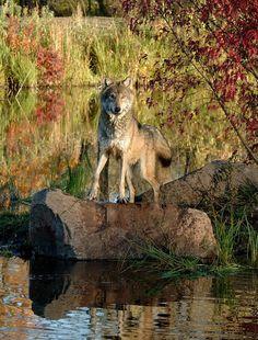 "beautiful-wildlife: ""Timber Wolf by Carol Gregory """