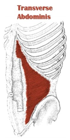 The external oblique muscles allows flexion of the spine ...