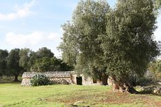 Our wonderful olive groves of Salento Puglia Italy. Shelter for the sheep