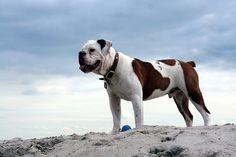 Victorian Bulldog-thats my dog!