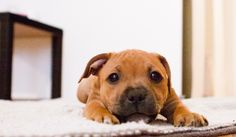 Our adorable 9 weeks old Staffordshire bullterrier girl.. Vally <3