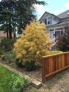 Trees of Santa Cruz County: Hakea salicifolia 'Gold Medal' - Golden WIllow-Leaved Hakea