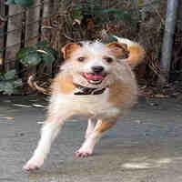 Alameda California, Foster To Adopt, Rat Terriers, Rats, Pet Adoption, Dog Cat, Corgi, Meet, Animals