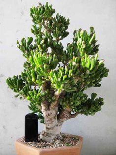 "Crassula Hobbit Bonsai- Love the name of this one. ""I will call you Frodo! Crassula Succulent, Succulent Bonsai, Crassula Ovata, Succulent Gardening, Cacti And Succulents, Planting Succulents, Planting Flowers, Jade Plant Bonsai, Jade Plants"
