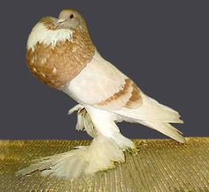 white pigeon grit - Google Search