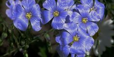 What are good plants for clay soil? What is clay soil? If you've been wondering if you have clay soil, let me help you figure that out. We'll go through everything there is to know abou… Drought Resistant Plants, Flax Plant, Plants, Planting Flowers, Deer Resistant Plants, Trendy Plants, Clay Soil, Flax Flowers, Flowers Perennials