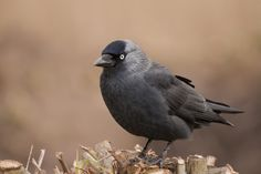 Jackdaw (Coloeus monedula)