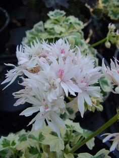 Pelargonium 'Arctic Snow' Geranium
