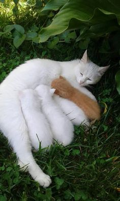 White cat & kittens plus a ginger kitten