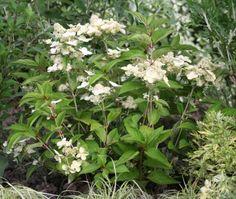 Hydrangea paniculata PRIM' WHITE ® 'Dolprim' - Le plus précoce des paniculata. Petit développement. Fleurs blanches légèrement aplaties. Diffusion SAPHO Hydrangea Paniculata, Sapho, Diffusion, Gardens, White Flowers
